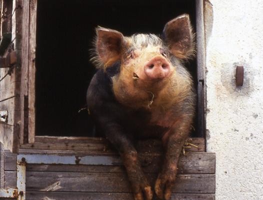 Schwein bevor es zu Kesselfleisch wurde